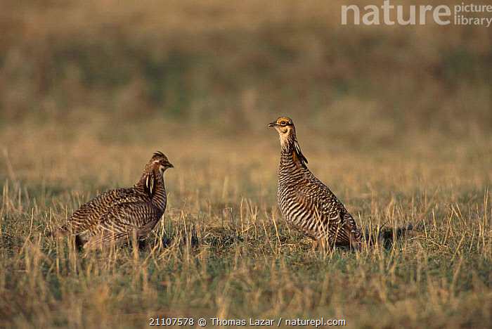 Prairie chicken males in stand off {Tympanuchus cupido} Wisconsin USA  ,  FIGHTING,NORTH AMERICA,BIRDS,DISPLAY,TWO,BEHAVIOUR,MATING BEHAVIOUR,GROUSE,AGGRESSION,REPRODUCTION,COMMUNICATION,Concepts,Grassland  ,  Thomas Lazar