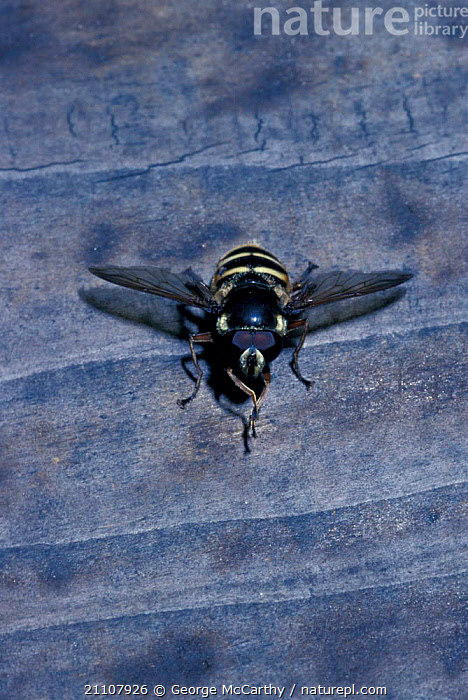 Sunfly {Helophilus pulus} Surrey UK  ,  SUNFLIES,INSECTS,ENGLAND,DIPTERA,INVERTEBRATES,EUROPE,FLIES  ,  George McCarthy