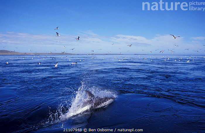 Dolphin surfing in front of boat seagulls. Falkland Is  ,  LANDSCAPES,SEABIRDS,SURFACE,CETACEANS,FALKLAND ISLANDS,MARINE,MAMMALS,ACTION,FLOCKS,SEAGULLS,BOATS  ,  Ben Osborne