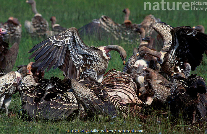 Ruppells griffon vultures feed on zebra carcass {Gyps rueppellii} Serengeti Tanzania  ,  RESERVE,EAST AFRICA,SCAVENGING,RUPPELL,NP,FEEDING,AFRICA,BIRDS,NATIONAL PARK,,Serengeti National Park, UNESCO World Heritage Site,  ,  Mike Wilkes