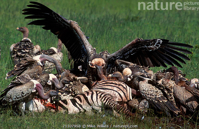 Ruppells griffon vultures feed on zebra carcass {Gups rueppellii} Serengeti Tanzania  ,  WINGS,EAST AFRICA,AFRICA,FEEDING,RUPPELL,GUPS,SCAVENGING,BIRDS,NP,RESERVE,NATIONAL PARK,,Serengeti National Park, UNESCO World Heritage Site,  ,  Mike Wilkes