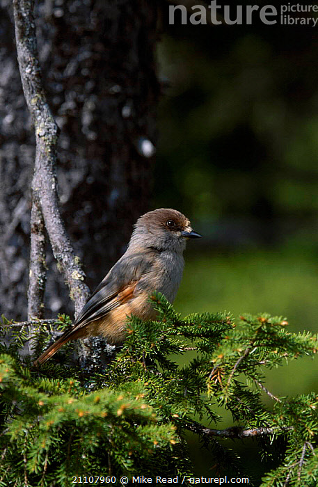 Siberian jay perched in conifer {Perisorius infaustus} Kuusamo Finland  ,  BIRDS,EUROPE,PERISORIUS,PASSERINES,SCANDINAVIA,CONIFEROUS,JAYS,CORVIDS  ,  Mike Read