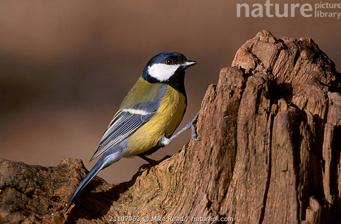Great tit male {Parus major} UK  ,  EUROPE,ENGLAND,TITS,BIRDS,MALES,PASSERINES  ,  Mike Read