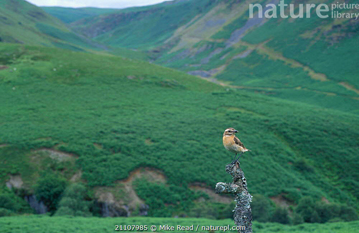 Whinchat female in landscape {Saxicola rubetra} Powys Wales UK  ,  EUROPE,LANDSCAPES,ENGLAND,BIRDS,FEMALES,PASSERINES  ,  Mike Read
