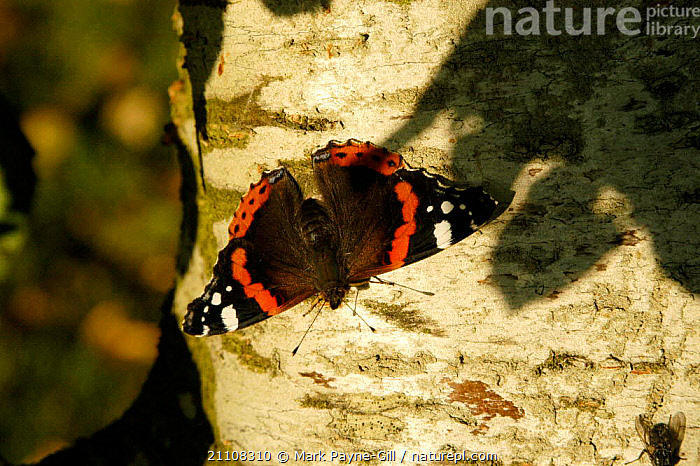 Red admiral butterfly sunning on tree {Vanessa atalanta} UK  ,  BRITISH,INSECTS,INVERTEBRATES,BUTTERFLIES,THERMOREGULATION,LEPIDOPTERA,ENGLAND,EUROPE  ,  Mark Payne-Gill