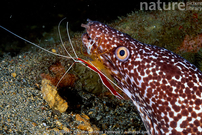 Spotted moray eel with cleaner shrimp {Gymnothorax moringua} Bonaire Caribbean  ,  SYMBIOSIS,MIXED SPECIES,OCEAN,FISH,GROOMING,SEA,SKIN,CRUSTACEANS,UNDERWATER,OSTEICHTHYES,FACES,INVERTEBRATES,MARINE,TROPICAL,CLEANING,CONCEPTS,PARTNERSHIP  ,  Constantinos Petrinos