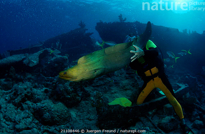 Diver playing with Moray eel {Gymnothorax sp} Caribbean sea  ,  CORAL REEFS,SCUBA,OSTEICHTHYES,FISH,LEISURE,MARINE,SPORTS,PEOPLE,UNDERWATER,DIVING,TROPICAL  ,  Jurgen Freund