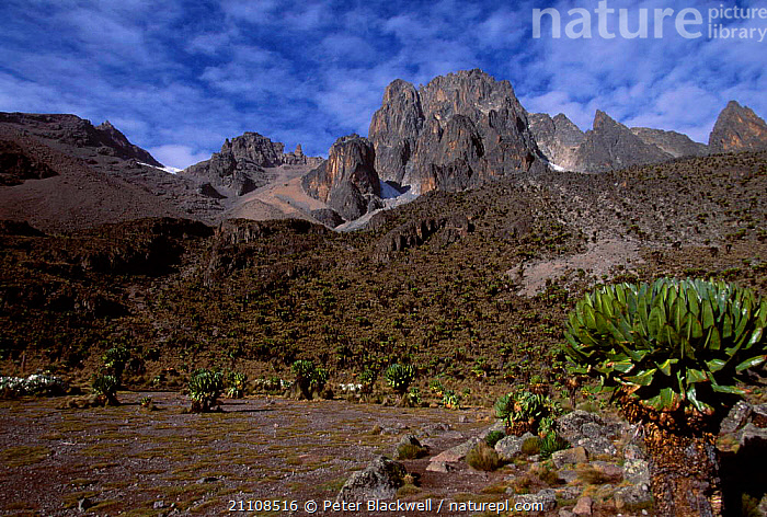 Giant lobelias {Lobelia keniensis} on Mount Kenya Kenya  ,  LOBELIA,LANDSCAPES,PLANTS,AFRICA,KENIENSIS,RESERVE,CLOUDS,TREES,HIGHLANDS,WEATHER,EAST-AFRICA  ,  Peter Blackwell