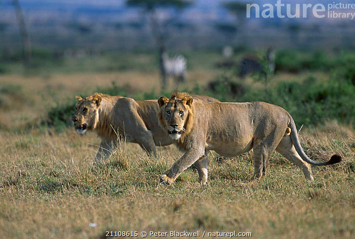 Two young male African lions (3-yrs-old) {Panthera leo} Masai Mara NR Kenya  ,  CARNIVORES,WALKING,MAMMALS,MALES,AFRICA,EAST AFRICA,JUVENILE,RESERVE,LIONS,BIG CATS  ,  Peter Blackwell