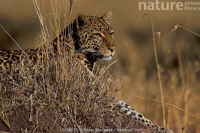 Leopard female (Shadow) resting {Panthera pardus} Masai Mara NR Kenya Big Cat Diary  ,  BIG CAT DIARY,MAMMALS,CATS,CAMOUFLAGE,PORTRAITS,RESERVE,SHADOW,AFRICA,FEMALES,EAST AFRICA,CARNIVORE,BIG CATS,CARNIVORES,LEOPARDS  ,  Peter Blackwell