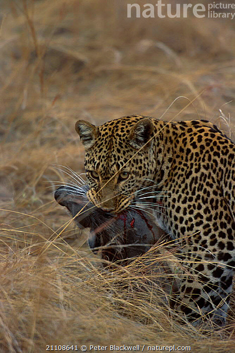Leopard female (Shadow) {Panthera pardus} predating Warthog. Masai Mara NR Kenya  ,  DEATH,WARTHOG,RESERVE,FEMALES,BIG CATS,BIG CAT DIARY,EAST AFRICA,ACTION,ARTIODACTYLA,CARNIVORE,CARNIVORES,MAMMALS,PREDATION,AFRICA,SHADOW,BEHAVIOUR,LEOPARDS  ,  Peter Blackwell