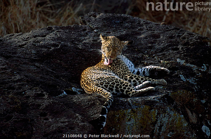 Leopard female (Shadow) grooming {Panthera pardus} Masai Mara NR Kenya Big Cat Diary  ,  SHADOW,BIG CATS,RESERVE,TONGUES,LICKING,FEMALES,EAST AFRICA,EAST AFRICA,AFRICA,CARNIVORES,MAMMALS,BIG CAT DIARY,LEOPARDS  ,  Peter Blackwell