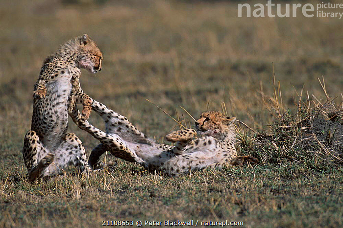 Cheetah cubs (6m-old) playing {Acinonyx jubatus} Masai mara NR Kenya  ,  FIGHTING,RESERVE,TWO,BABIES,BEHAVIOUR,EAST AFRICA,JUVENILES,MAMMALS,PLAY,AFRICA,CARNIVORES,BIG CATS,AGGRESSION,COMMUNICATION,Concepts  ,  Peter Blackwell