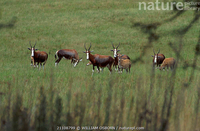 Bontebok (Blesbok) family group with young {Damaliscus dorcas phillipi}. E Transavaal S Africa  ,  MOTHER,GROUPS,FAMILIES,HERDS,SOUTHERN AFRICA,AGGREGATION,MAMMALS,PHILLIPI,BLESBOK,ANTELOPES,ARTIODACTYLA,EIGHT  ,  WILLIAM OSBORN