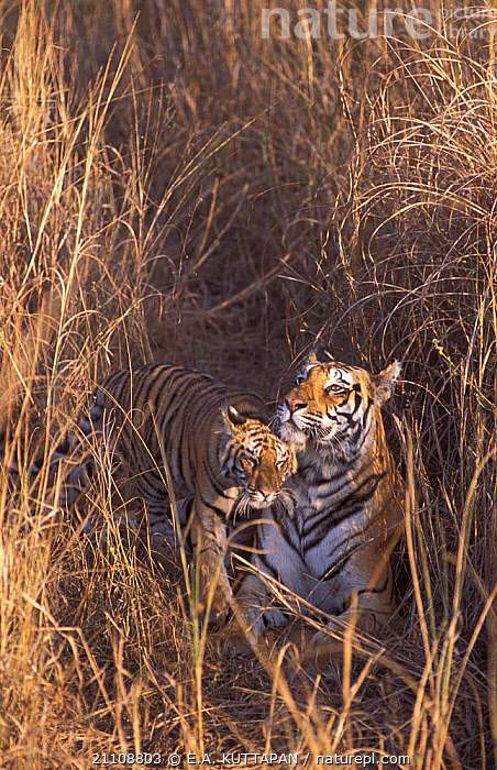 Mother Bengal tiger with young cub {Panthera t tigris} Bandhavgah NP, MP, India  ,  CATS,MADHYA,INDIAN SUBCONTINENT,MAMMALS,ENDANGERED,BABIES,CUBS,CUTE,PRADESH,CARNIVORES,THREATENED,RUBBING,AFFECTIONATE,FAMILIES,RESERVE,VERTICAL,FEMALES,GRASS,Asia,concepts,Plants,Tigers,Big Cats  ,  E.A. KUTTAPAN