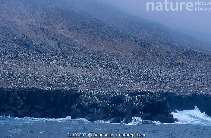 Chinstrap penguin {Pygoscelis antarctica} rookery. Zavodovsky Is S Sandwich Is Antarctica  ,  BIRDS,AGGREGATION,ROOKERY,SEA,MASS,SOUTH,CLIFFS,PENGUINS,AVES,SAUNDERS,GEOLOGY,SEABIRDS, Seabirds  ,  Doug Allan