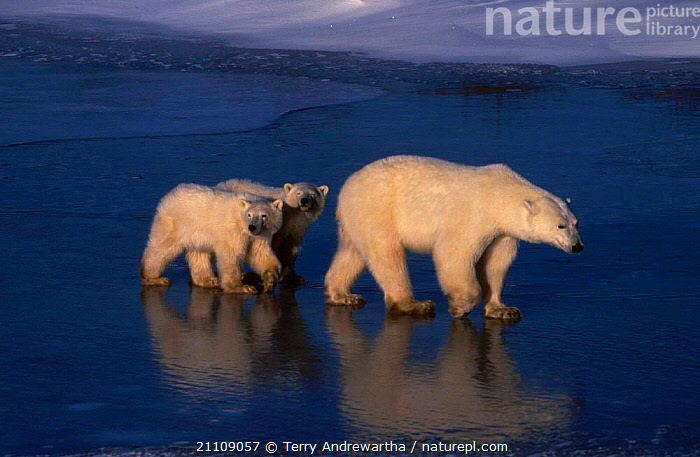 Polar bear cubs following mother on ice {Ursus maritimus} Hudson Bay Canada  ,  FAMILIES,NORTH AMERICA,BEARS,TWINS,MAMMALS,THREE,BABIES,ARCTIC,SNOW,CARNIVORES , planet earth  ,  Terry Andrewartha