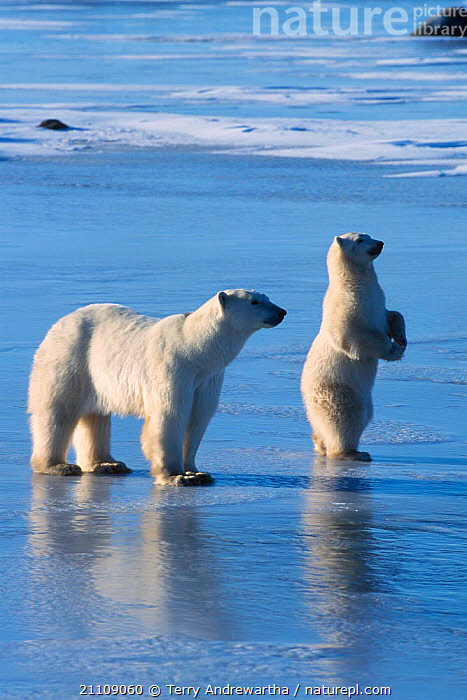 Polar bear cub standing upright on ice {Ursus maritimus} Hudson Bay Canada  ,  NORTH AMERICA,FAMILIES,CUBS,SNOW,MAMMALS,TWO,CARNIVORES,BEARS,BEHAVIOUR,BABIES,ARCTIC,MOTHER  ,  Terry Andrewartha
