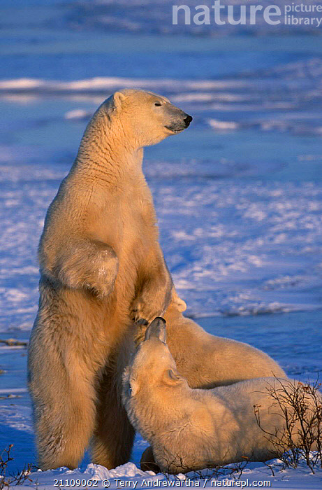 Polar bear standing upright cubs {Ursus maritimus} Hudson Bay Canada  ,  ARCTIC,TWO,BEARS,BEHAVIOUR,SNOW,CUBS,CARNIVORE,NORTH AMERICA,CARNIVORES,FAMILIES,NORTH AMERICA,MAMMALS,FAMILY  ,  Terry Andrewartha