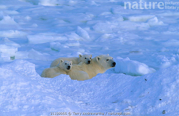 Polar bear cubs resting in snow {Ursus maritimus} Hudson Bay Canada  ,  BEARS,NORTH AMERICA,ARCTIC,CARNIVORES,GROUP,CARNIVORE,FAMILY,GROUPS,NORTH AMERICA,FAMILIES,MAMMALS,THREE  ,  Terry Andrewartha