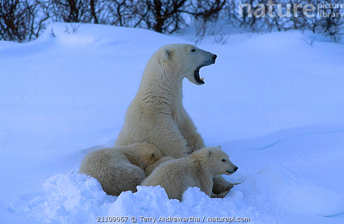 Polar bear cubs resting in snow {Ursus maritimus} Hudson Bay Canada  ,  GROUP,FAMILIES,MAMMALS,NORTH AMERICA,NORTH AMERICA,THREE,CARNIVORE,CARNIVORES,FAMILY,GROUPS,ARCTIC,BEARS  ,  Terry Andrewartha