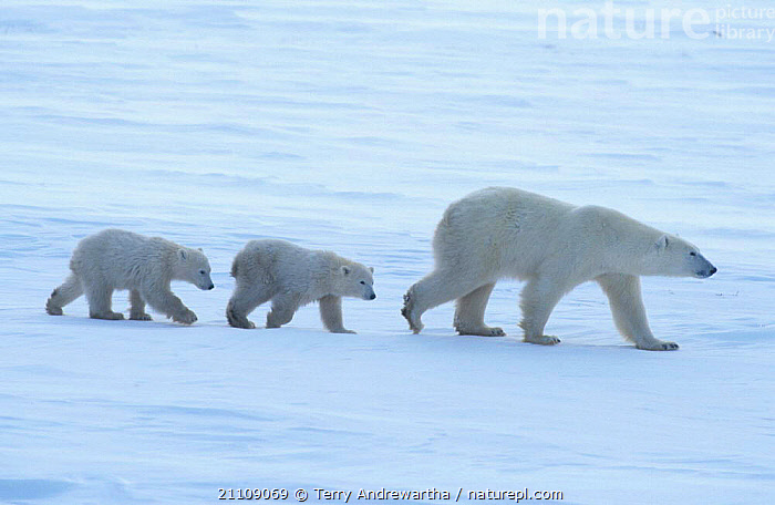 Polar bear cubs following mother {Ursus maritimus} Hudson Bay Canada  ,  THREE,CARNIVORE,NHU,NORTH AMERICA,SNOW,FAMILIES,MAMMALS,CARNIVORES,NORTH AMERICA,BABIES,POLAR BEAR BATTLEFIELD,TWINS,BEARS,ARCTIC,FAMILY,WALKING,BATTLEFIELD  ,  Terry Andrewartha