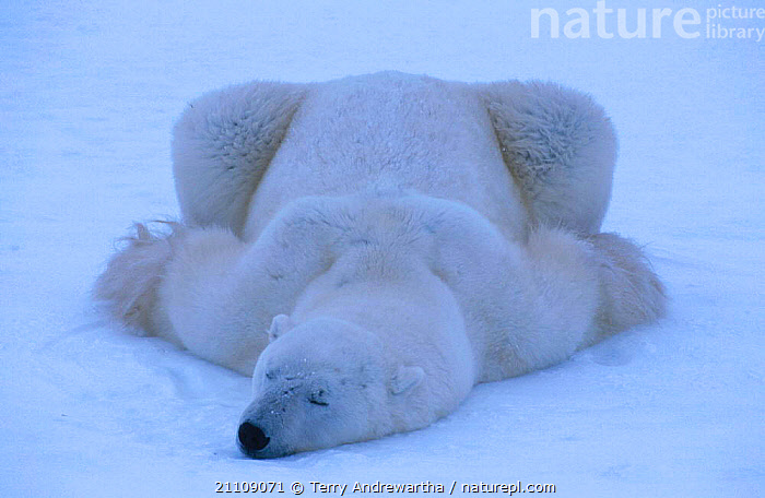Polar bear resting in snow {Ursus maritimus} Hudson Bay Canada  ,  BEHAVIOUR,CARNIVORE,ARCTIC,NHU,NORTH AMERICA,HUMOROUS,FUNNY,BATTLEFIELD,CARNIVORES,MAMMALS,POLAR BEAR BATTLEFIELD,SINGLE,BEARS,HUMOROUS,SLEEPING,NORTH AMERICA,CONCEPTS  ,  Terry Andrewartha