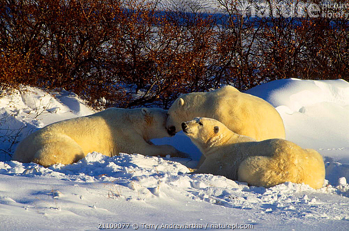 Polar bear grooming cubs {Ursus maritimus} Hudson Bay Canada  ,  NORTH AMERICA,BEARS,GROUPS,NORTH AMERICA,TONGUES,SNOW,ARCTIC,FAMILY,CARNIVORES,CARNIVORE,GROUP,MAMMALS,BEHAVIOUR,FAMILIES  ,  Terry Andrewartha