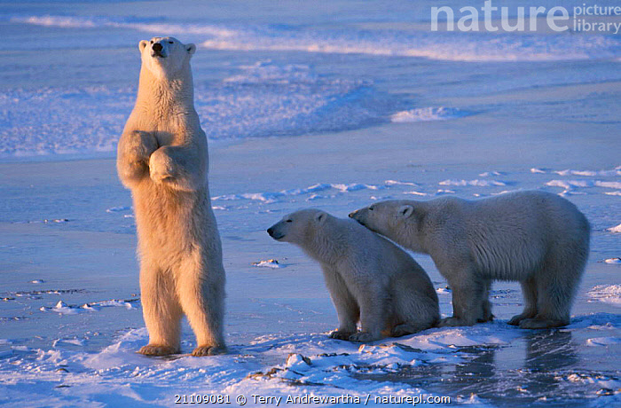 Polar bear standing upright cubs {Ursus maritimus} Hudson Bay Canada  ,  FAMILIES,FAMILY,BEHAVIOUR,MAMMALS,ARCTIC,CARNIVORES,SNOW,BEARS,SNIFFING,NORTH AMERICA,TWO,CARNIVORE,CUBS,NORTH AMERICA  ,  Terry Andrewartha