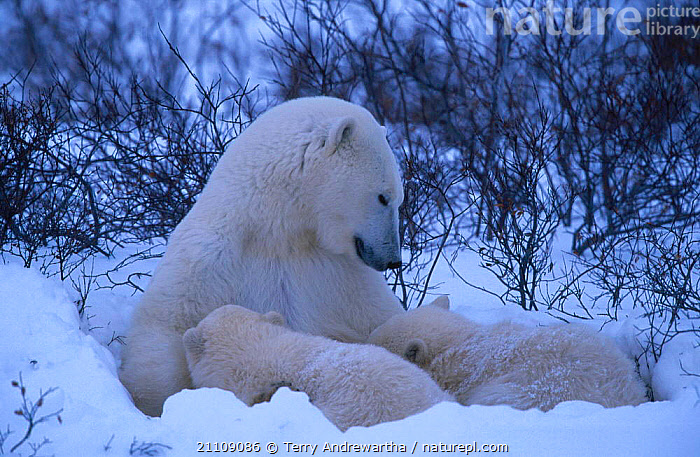 Two Polar bear cubs suckling {Ursus maritimus} Hudson Bay Canada  ,  NORTH AMERICA,PARENTAL,FAMILY,NORTH AMERICA,BABIES,BEARS,CARNIVORES,TWINS,BEHAVIOUR,CARNIVORE,MAMMALS,ARCTIC,MOTHER,THREE,FAMILIES,SNOW  ,  Terry Andrewartha