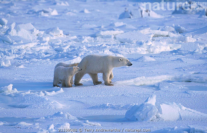Two Polar bear cubs mother on snow {Ursus maritimus} Hudson Bay Canada  ,  BEARS,FAMILY,TWINS,ARCTIC,BABIES,NORTH AMERICA,CARNIVORES,MAMMALS,NORTH AMERICA,FAMILIES,CARNIVORE,THREE  ,  Terry Andrewartha