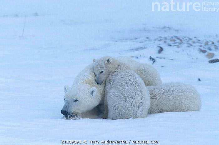 Polar bear cubs resting {Ursus maritimus} Hudson Bay Canada  ,  FAMILIES,BEARS,CARNIVORE,SNOW,FAMILY,NORTH AMERICA,SLEEPING,THREE,GROUPS,ARCTIC,CARNIVORES,GROUP,MAMMALS,NORTH AMERICA  ,  Terry Andrewartha