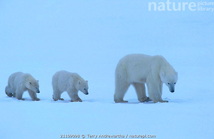 Two Polar bear cubs follow mother across snow {Ursus maritimus} Hudson Bay Canada  ,  CARNIVORE,TWINS,ARCTIC,BEARS,WALKING,THREE,NORTH AMERICA,BABIES,CARNIVORES,NORTH AMERICA,FAMILY,FAMILIES,MAMMALS  ,  Terry Andrewartha