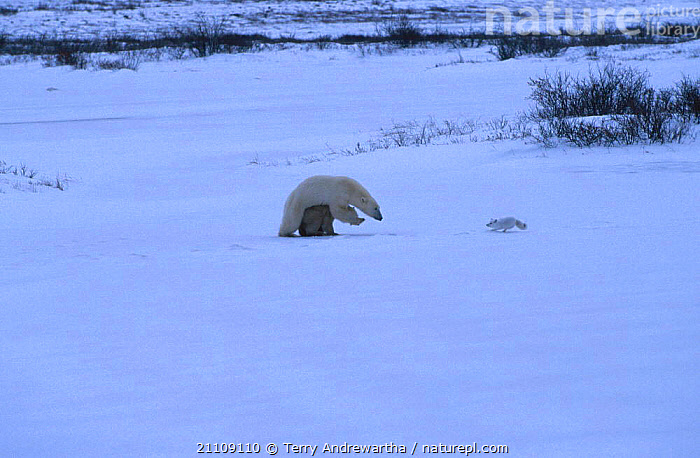 Polar bear {Ursus maritimus} guarding cub from Arctic fox Hudson Bay Canada  ,  FAMILIES,MIXED SPECIES,NORTH AMERICA,MAMMALS,MIXED SPECIES,FAMILY,PREDATION,CARNIVORES,CARNIVORE,BEARS,INTERESTING,SNOW,ACTION,BEHAVIOUR,PARENTAL,NORTH AMERICA  ,  Terry Andrewartha