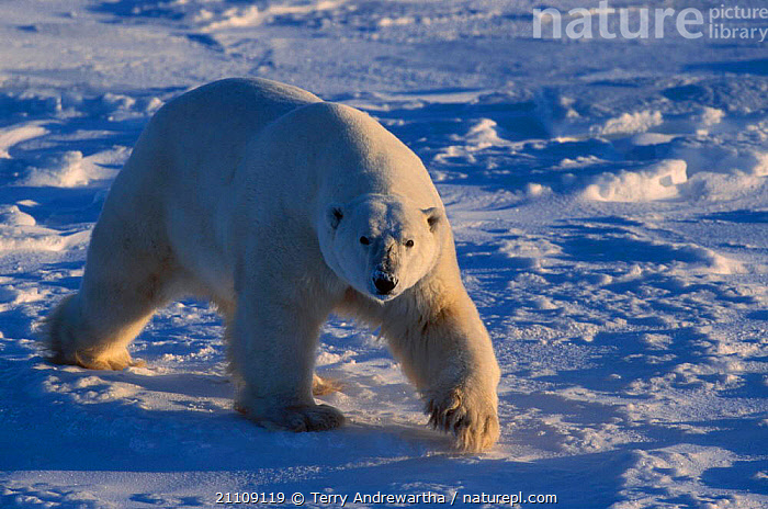 Polar bear walking {Ursus maritimus} Hudson Bay Canada  ,  ICE,CARNIVORE,CARNIVORES,NORTH AMERICA,ARCTIC,NORTH AMERICA,MAMMALS,BEARS,SNOW  ,  Terry Andrewartha