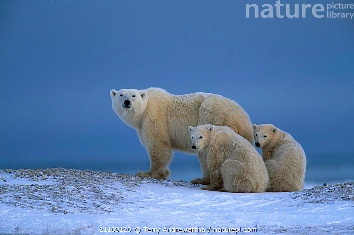 Two Polar bear cubs mother {Ursus maritimus} Hudson Bay Canada  ,  NORTH AMERICA,SNOW,BEARS,FAMILIES,BABIES,CARNIVORES,THREE,NORTH AMERICA,ARCTIC,CARNIVORE,FAMILY,MAMMALS,TWINS  ,  Terry Andrewartha