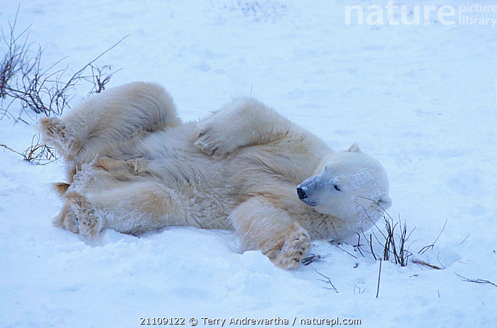 Polar bear rolling in snow {Ursus maritimus} Hudson Bay Canada  ,  BEHAVIOUR,CARNIVORES,NORTH AMERICA,ARCTIC,BEARS,MAMMALS,CARNIVORE,NORTH AMERICA  ,  Terry Andrewartha