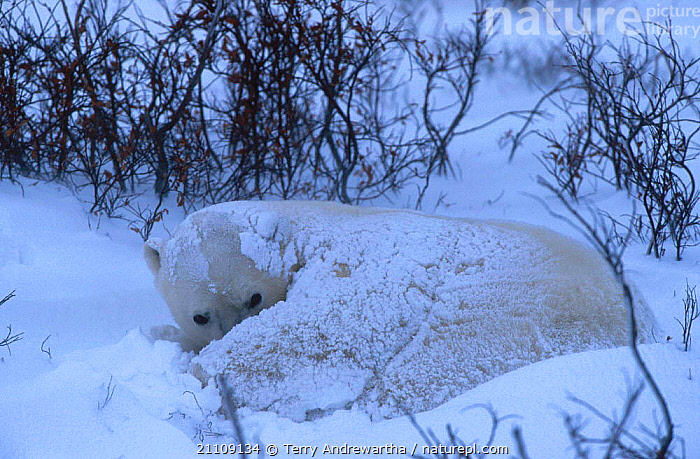 Polar bear resting covered in snow {Ursus maritimus} Hudson Bay Canada  ,  CARNIVORE,MAMMALS,CARNIVORES,ARCTIC,NORTH AMERICA,BEARS,NORTH AMERICA,SLEEPING,SINGLE  ,  Terry Andrewartha