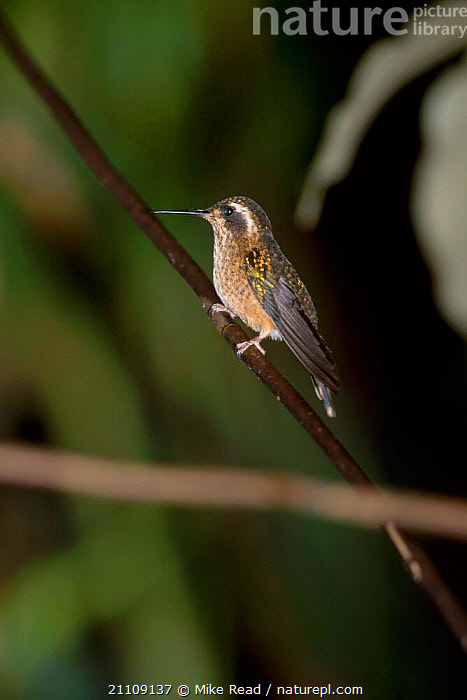 Speckled hummingbird {Adelomyia melanogenys} San Isidro Ecuador  ,  BIRDS,HUMMINGBIRDS,SOUTH AMERICA  ,  Mike Read