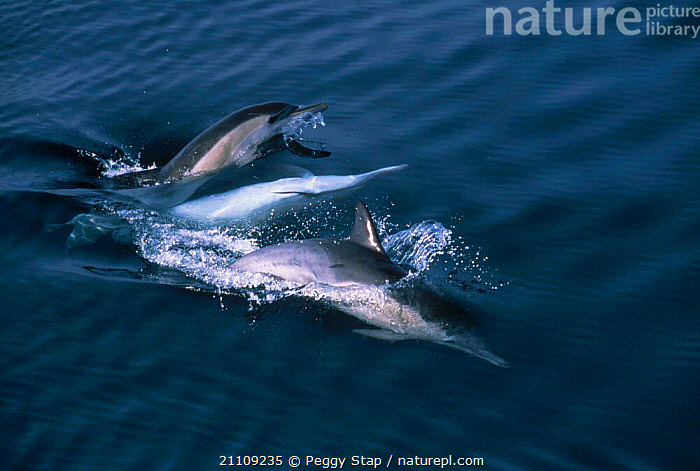 Three Long beaked common dolphins two mating {Delpinus capensis} Monterey Bay CA USA  ,  CALIFORNIA,CETACEANS,MALE FEMALE PAIR,PAIR,SEA,COPULATION,REPRODUCTION,MAMMALS,DELPINUS,SURFACE,GROUPS,BEHAVIOUR,PACIFIC,MATING BEHAVIOUR,DOLPHINS, Mammals  ,  Peggy Stap