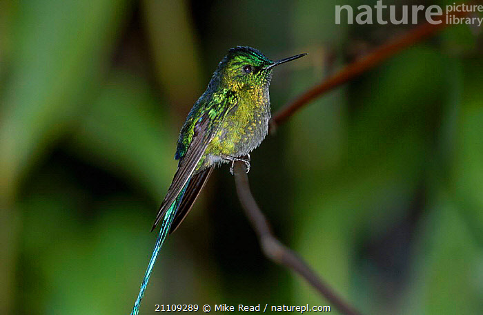 Long tailed sylph male {Aglaiocercus kingi} San Isidro Galapagos  ,  BIRDS,SYLPHS,MALES,HUMMINGBIRDS,IRRIDESCENT  ,  Mike Read