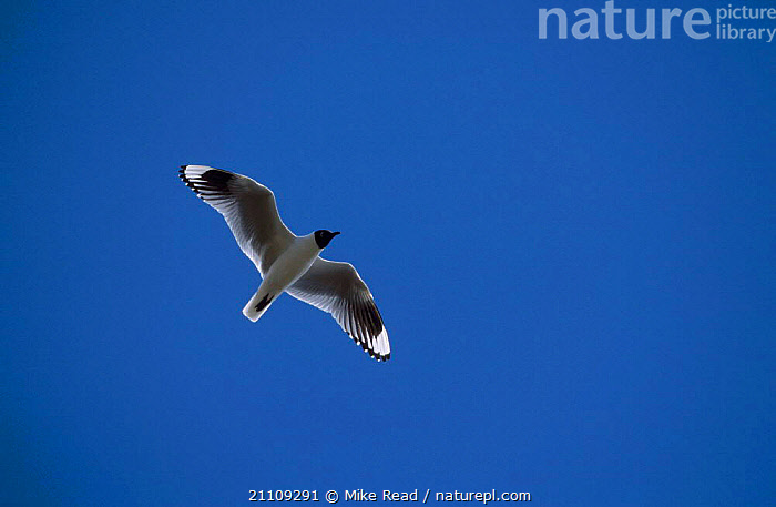 Andean gull flying {Larus serranus} Cotopaxi Ecuador  ,  SEAGULLS,SOUTH AMERICA,ANDES,BIRDS,GULLS  ,  Mike Read