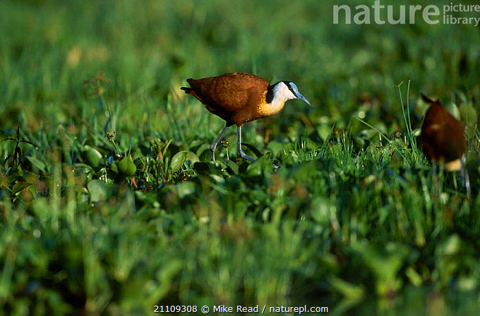 African jacana {Actophilornis africana} Lake Naivasha Kenya  ,  RESERVE,BIRDS,AFRICA,WADERS,AQUATIC,PLANTS,WALKING,LAKES,EAST AFRICA  ,  Mike Read