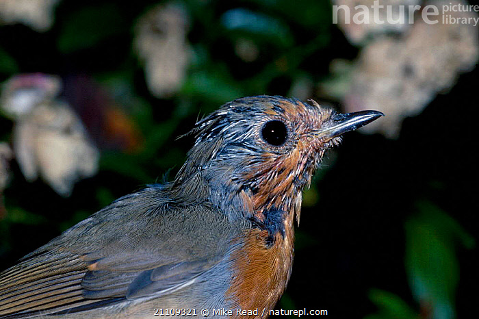 Robin moulting head feathers {Erithacus rubecula} UK  ,  BRITISH,EUROPE,ENGLAND,BIRDS,PORTRAITS,HEADS  ,  Mike Read