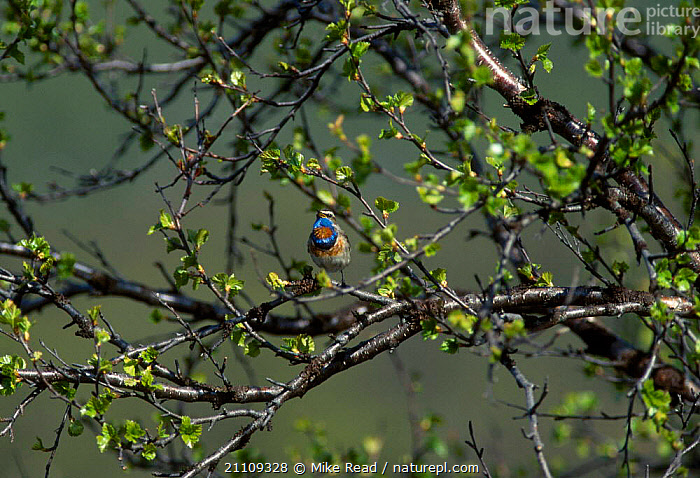 Bluethroat male displaying in birch tree {Erithacus svecicus} Nesseby Norway  ,  EUROPE,DISPLAY,BEHAVIOUR,SCANDINAVIA,SPRING,MALES,VOCALISATION,BIRDS,BLUE,TREES,SINGING,PLANTS,COMMUNICATION  ,  Mike Read