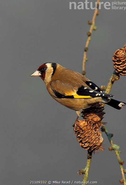Goldfinch in larch tree {Carduelis carduelis} Hampshire UK  ,  CONES,BRITISH,CONE,BIRDS,ENGLAND,EUROPE  ,  Mike Read