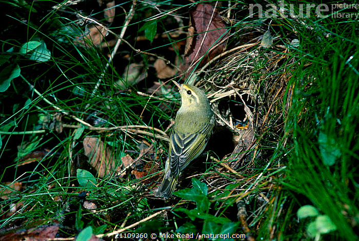 Wood warbler male at nest {Phylloscopus sibilatrix} UK  ,  MALES,BRITISH,BIRDS,ENGLAND,EUROPE,WARBLERS,NESTS  ,  Mike Read