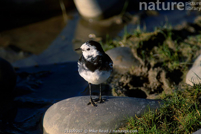 Pied wagtail male {Motacilla alba yarrelli} UK  ,  EUROPE,BIRDS,WAGTAILS,BRITISH,ENGLAND,MALES  ,  Mike Read