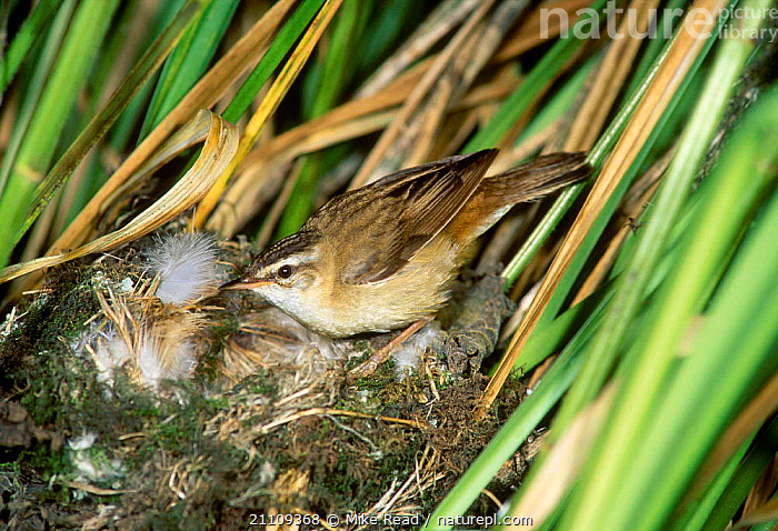 Sedge warbler at nest {Acrocephalus schoenobaenus} UK  ,  WARBLERS,EUROPE,BEHAVIOUR,BRITISH,ENGLAND,REEDS,BIRDS,NESTS  ,  Mike Read