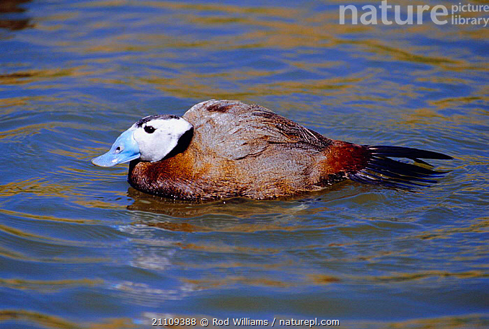 White headed duck, male {Oxyura leucocephala} captive  ,  BIRDS,BIRD,MALES,WATERFOWL,DUCKS,Wildfowl  ,  Rod Williams